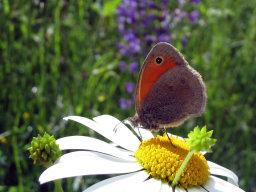 Бабочка и ромашка